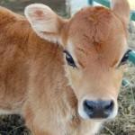 per fare il caglio usano le proteine dello stomaco del vitellino